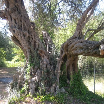 olive tree in the garden